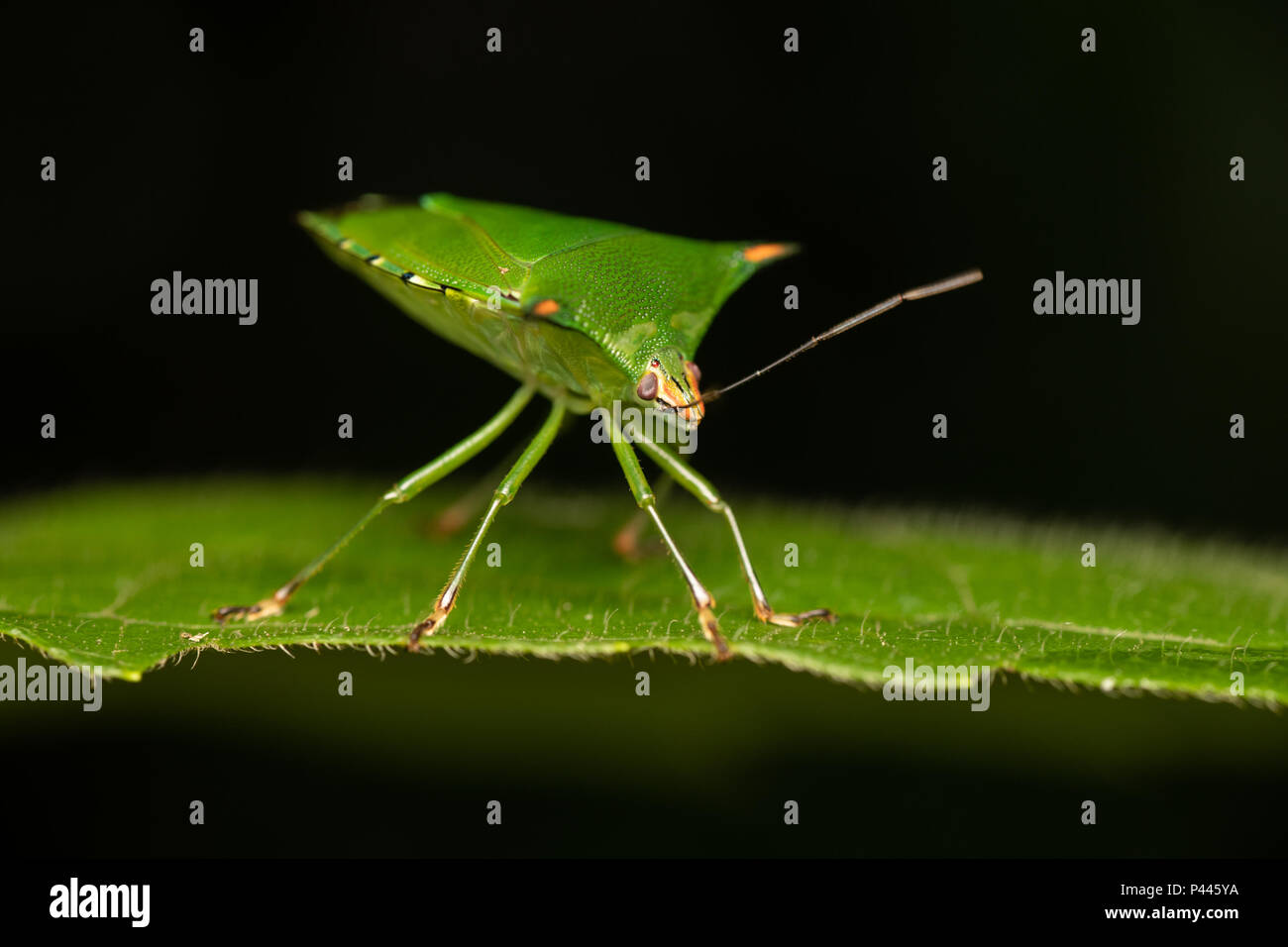 Sind eine Familie von Insekten, die die Reihenfolge Hemiptera, die in der Regel stinken Bugs oder Schild Bugs genannt werden Stockbild
