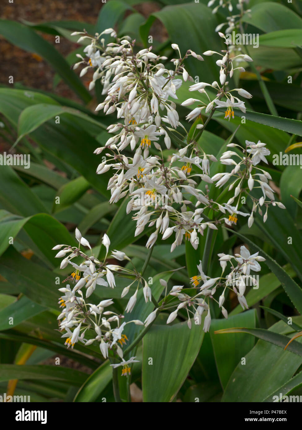 Neuseeland rock Lilie oder maikaika Arthropodium cirratum Stockfoto