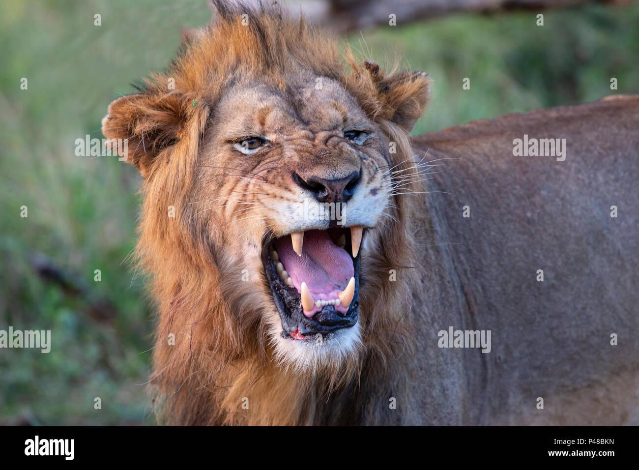 In der Nähe von Lion Head Panthera leo Brüllen Stockbild