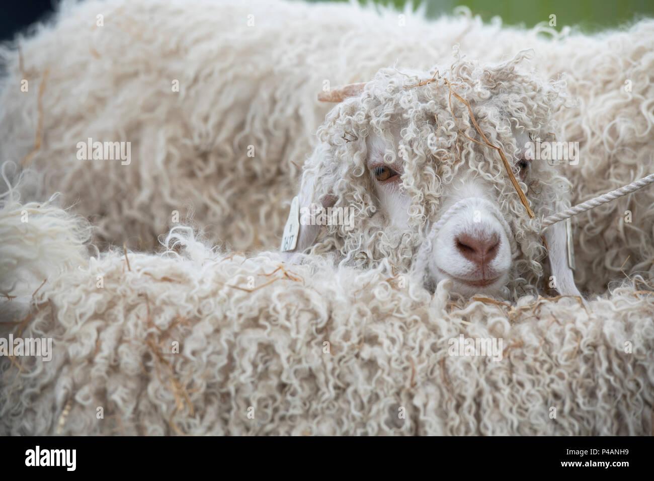 Capra aegagrus hircus. Angora kid Ziegen auf einer Landwirtschaft zeigen. Großbritannien Stockbild