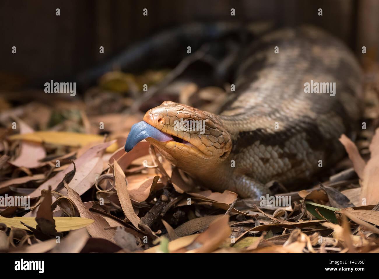 Blue-tongued Lizard mit der Zunge heraus Stockbild