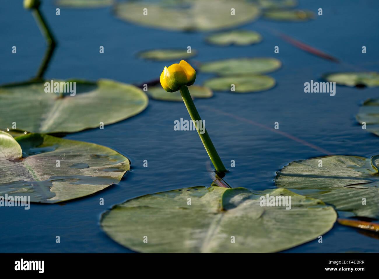 Kleine gelbe Lotus schwimmend auf blauem Wasser in das Donau Delta, Europa Stockfoto
