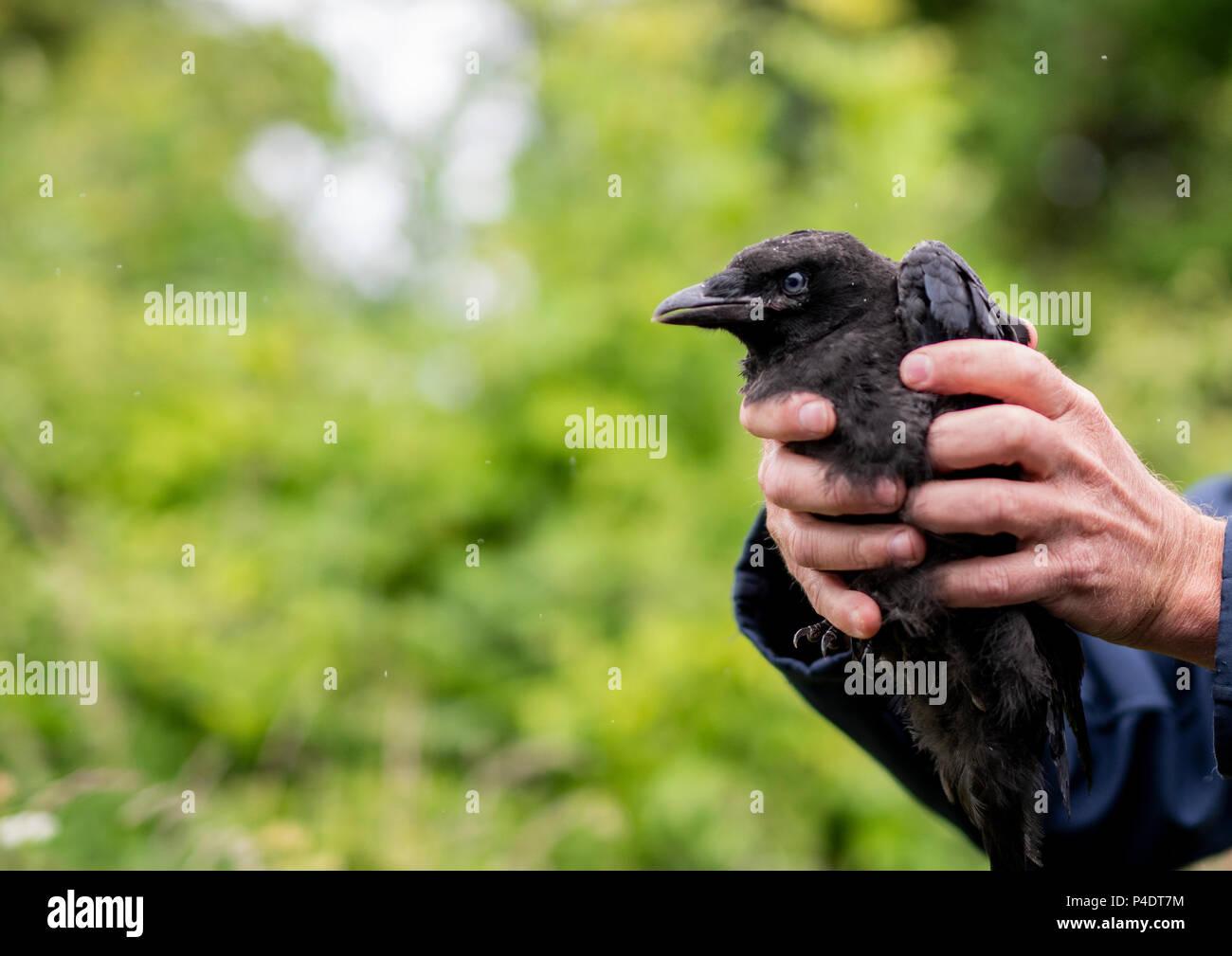 Eine junge Krähe, die unavle war noch zu fliegen, in dem die blauen Augen Stockbild