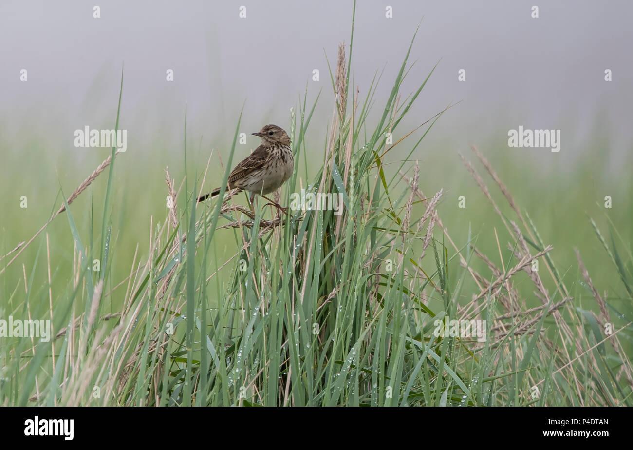 Einen kleinen Sumpf Pieper sitzen Singen im Gras Stockbild