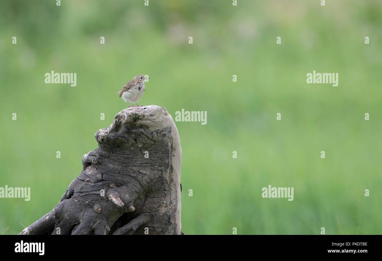 Eine winzige März Pieper sitzt auf einem bewaldeten stumpf Stockbild