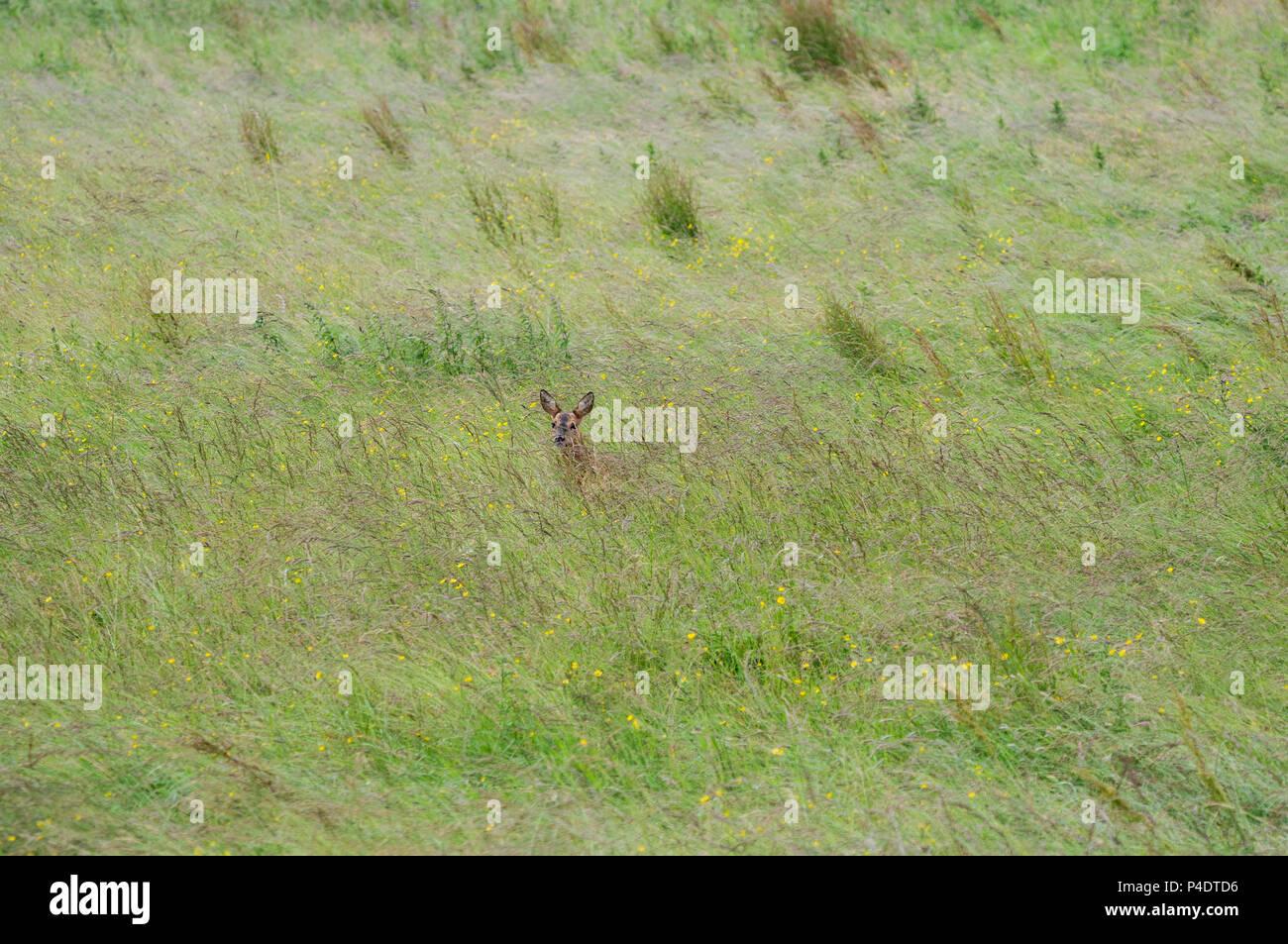 Ein wilder Rehe doe zu Fuß durch ein Feld von butterblumen, in Richtung Kamera schaut Stockfoto