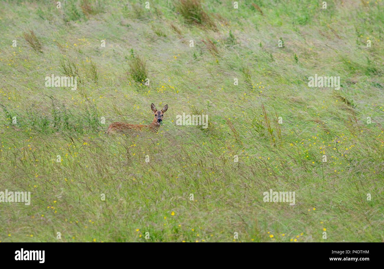 Ein wilder Rehe doe zu Fuß durch ein Feld von butterblumen, in Richtung Kamera schaut Stockbild