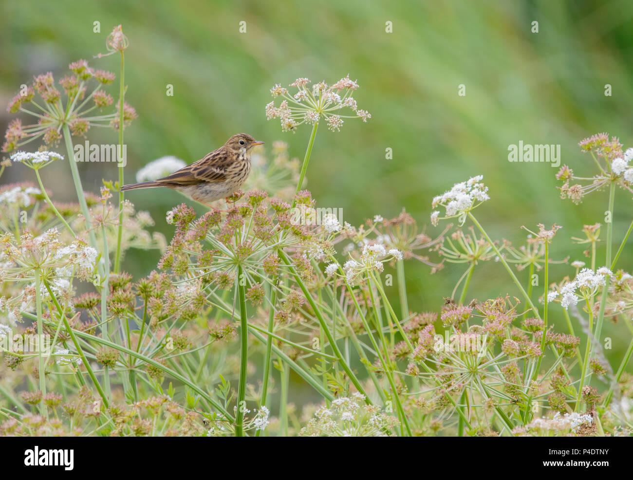 Einen kleinen Sumpf Pieper sitzen auf Blumen in einem Feld Stockbild