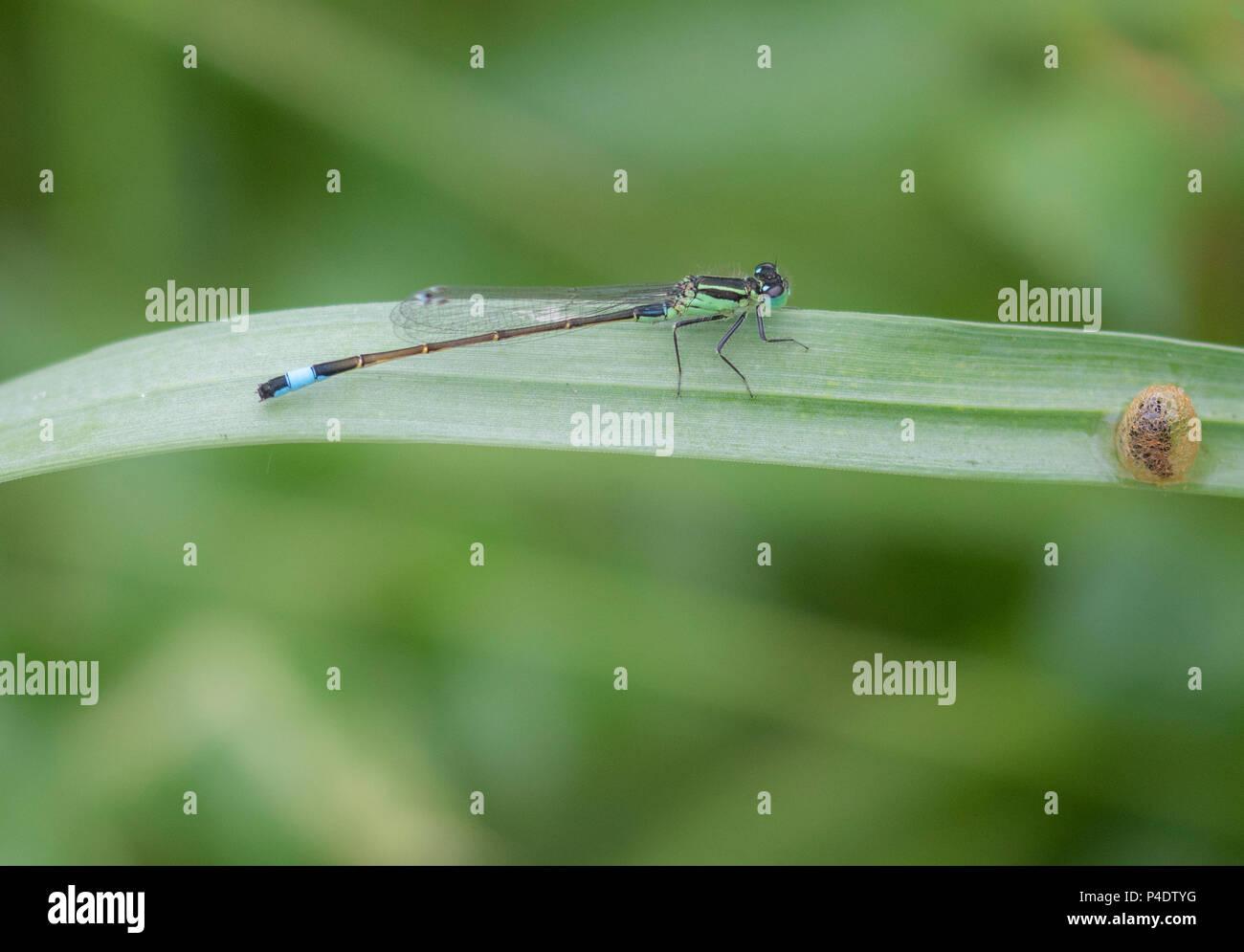 Von Schilf Damselflies in Gloucestershire ruht weich Stockbild