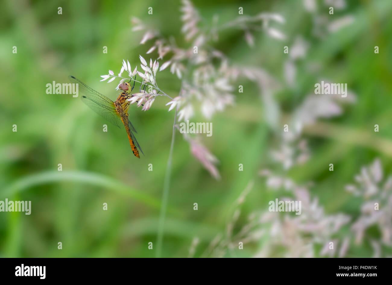 Ein frisch geschlüpften Libelle trocknen in der Sonne Stockfoto