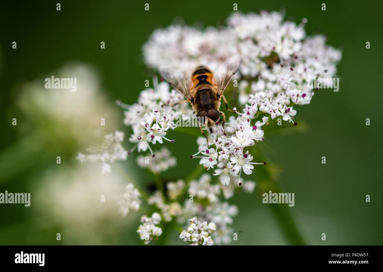 Ein hoverfly auf eine weiße Blume, Makro Bild Stockfoto