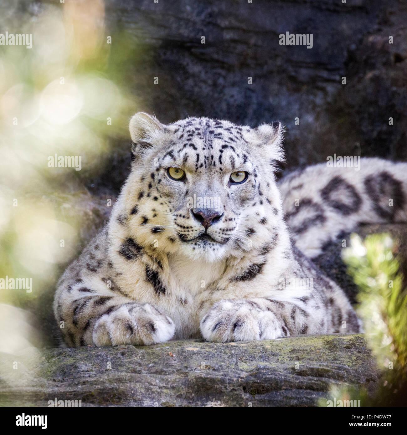Aufmerksame snow leopard hält ein wachsames Auge durch das Laub. Stockbild