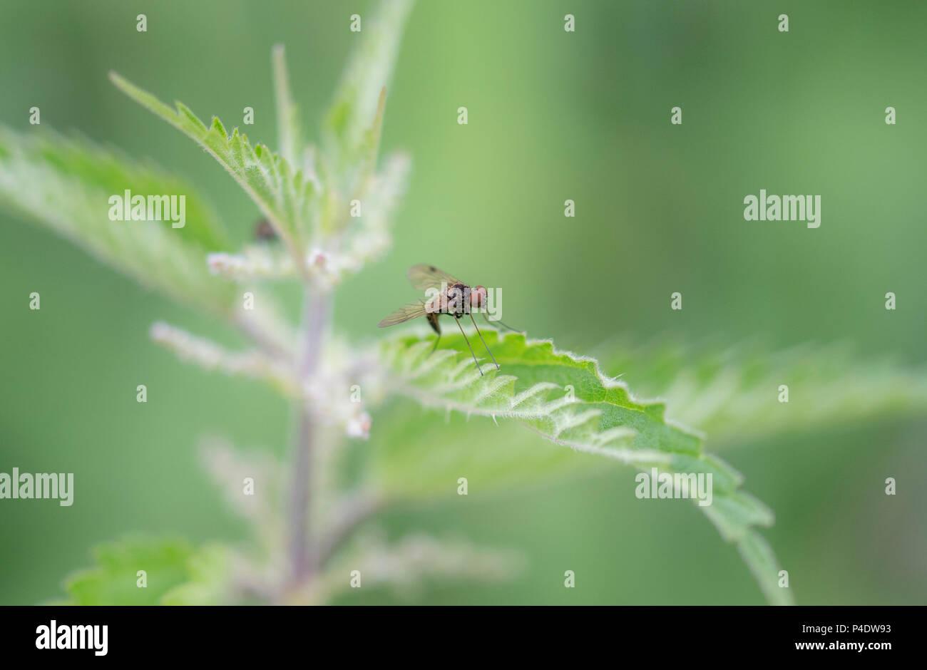 Einen kleinen roten Augen Fliege sitzt auf einem brennnessel Stockbild
