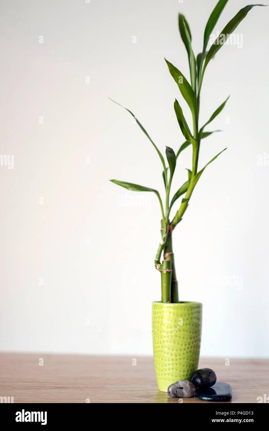 Wachsende Bambus Zimmerpflanze Im Innenbereich Auf Holz Mit Einem