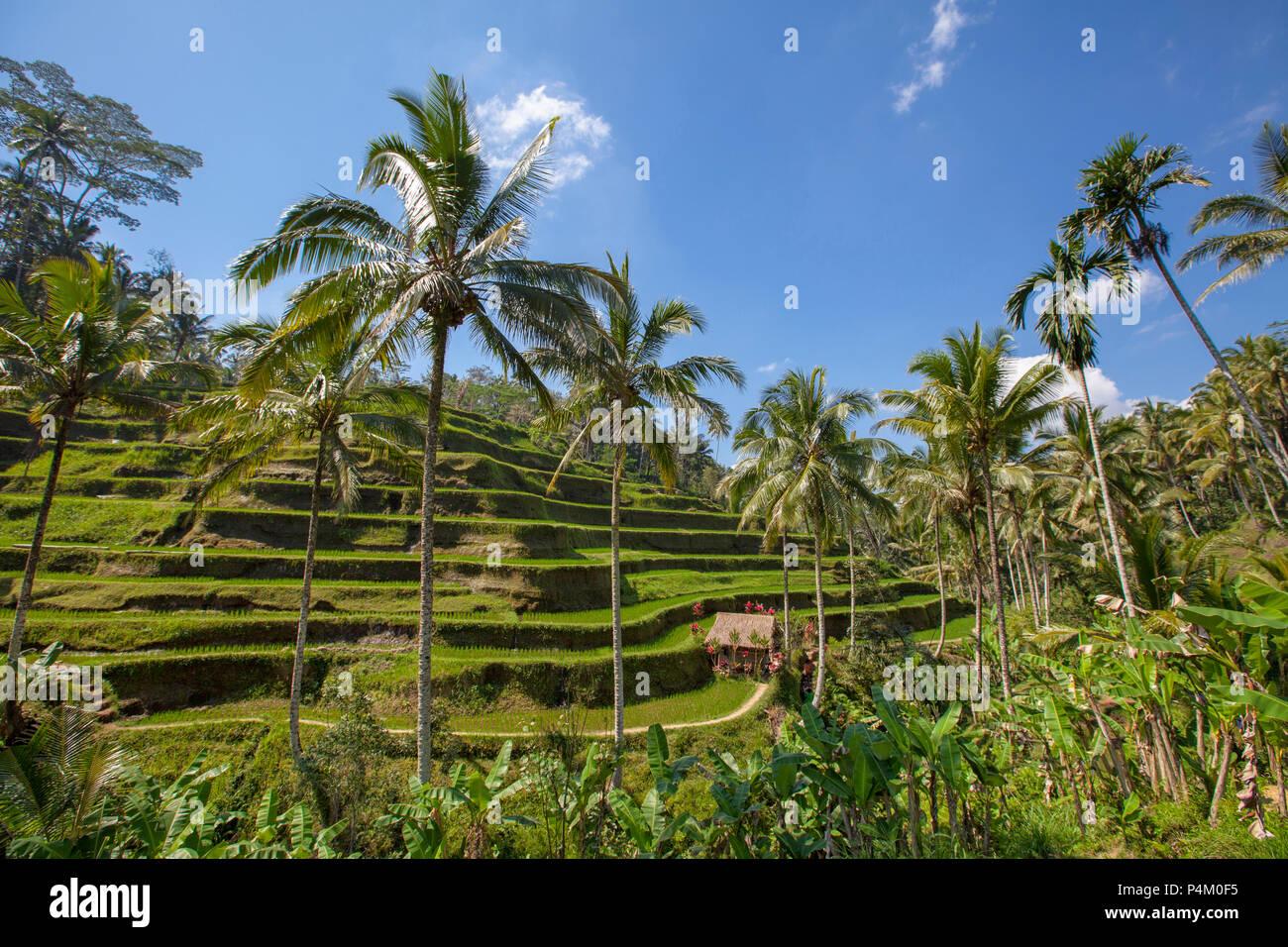 Reisterrassen in Tegallalang. Ubud, Bali, Indonesien Stockbild