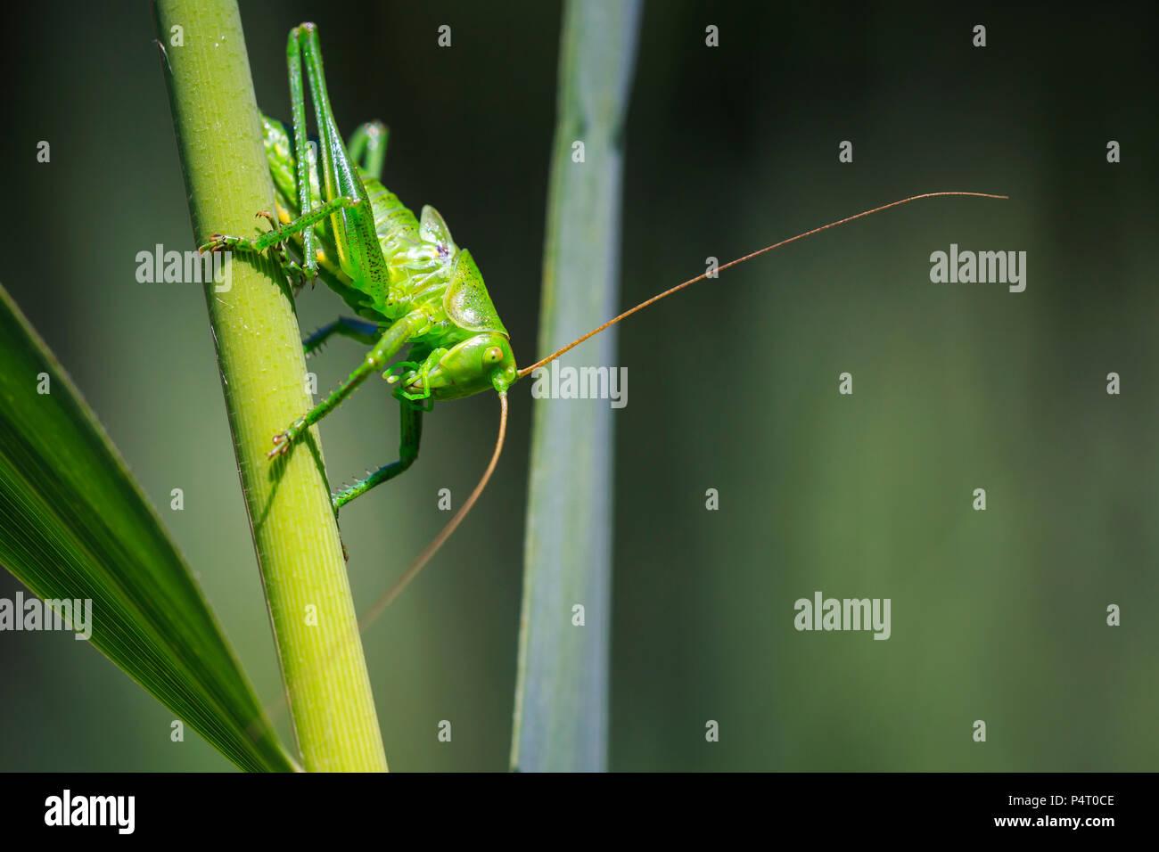 Eine große grüne Bush-Cricket, Tettigonia Viridissima Makro Nahaufnahme. Stockbild