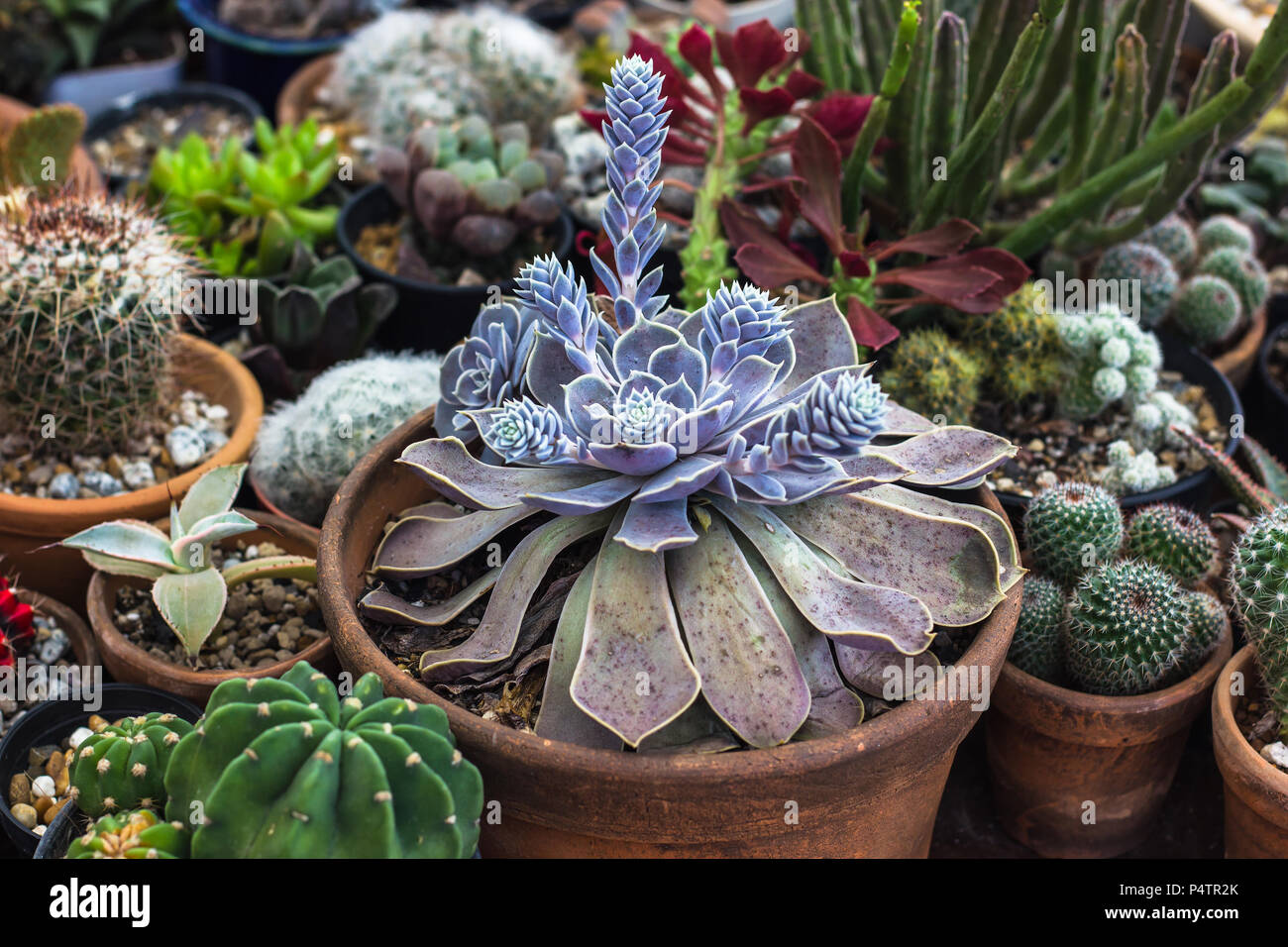 Sammlung von Kakteen und sukkulenten Pflanzen im Garten. Kleine Kakteen und Sukkulenten im heimischen Garten. Stockfoto