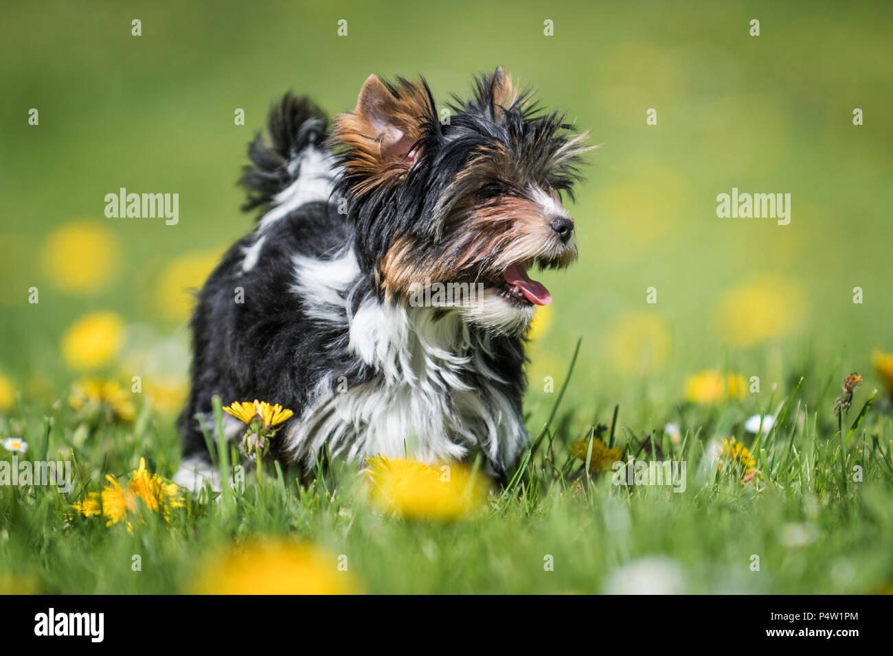 Susse Biewer Yorkshire Terrier Welpen Im Gras Und Lowenzahn Stockfoto