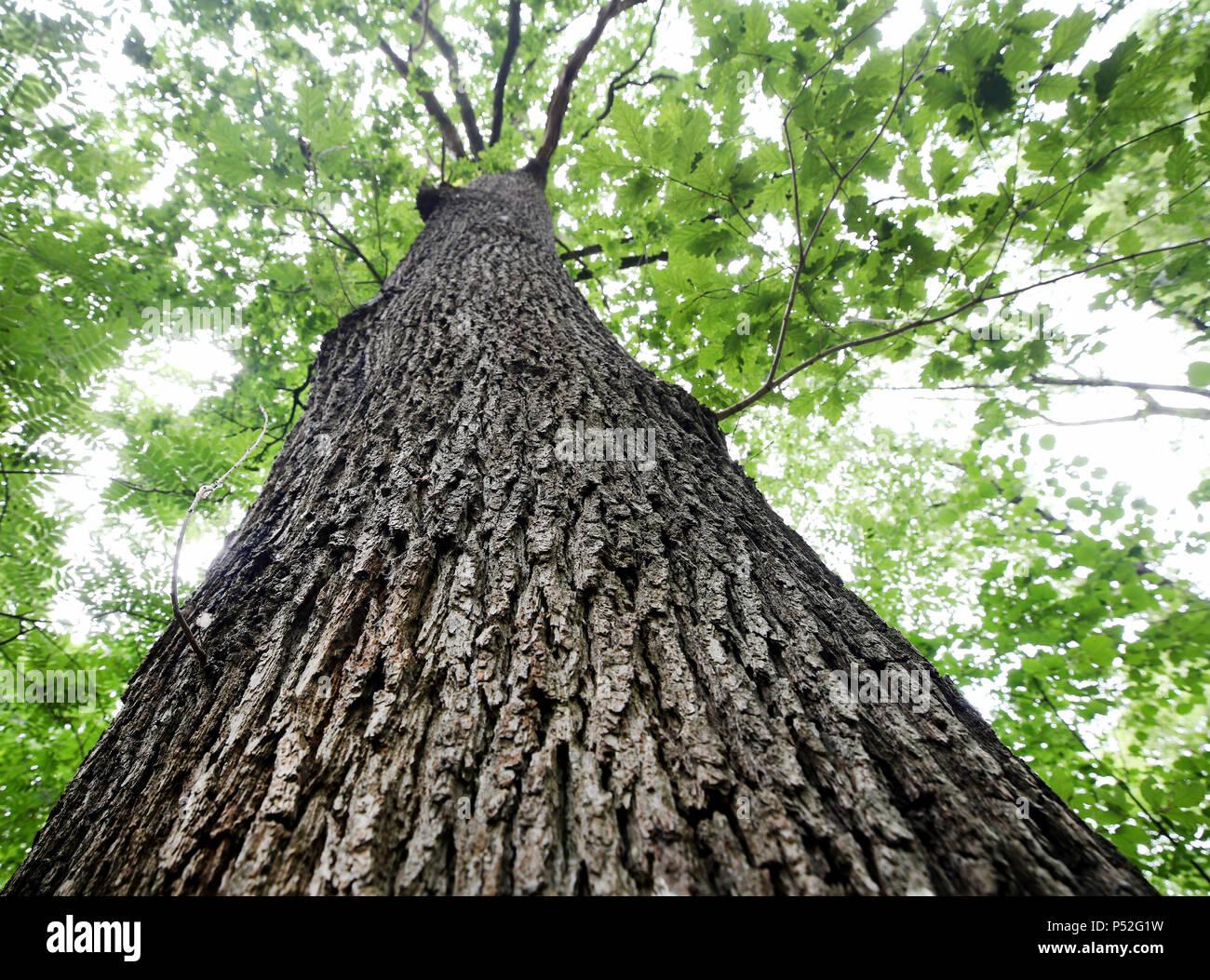 Wegberg Deutschland 14 Juni 2018 Eine Sehr Alte Eiche Baum
