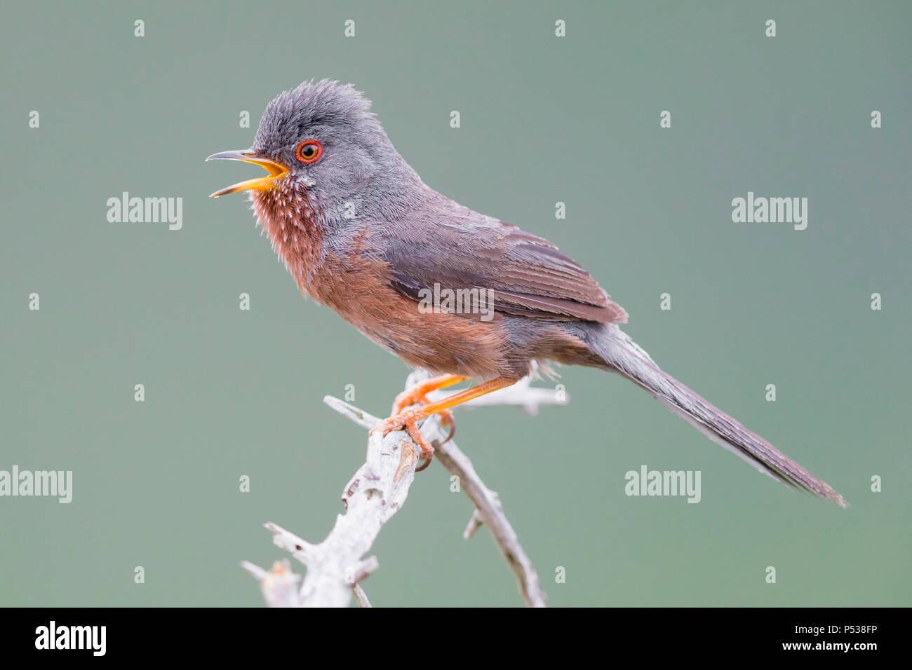Dartford Warbler (Sylvia undata), männlicher Gesang von einem kleinen Zweig Stockbild