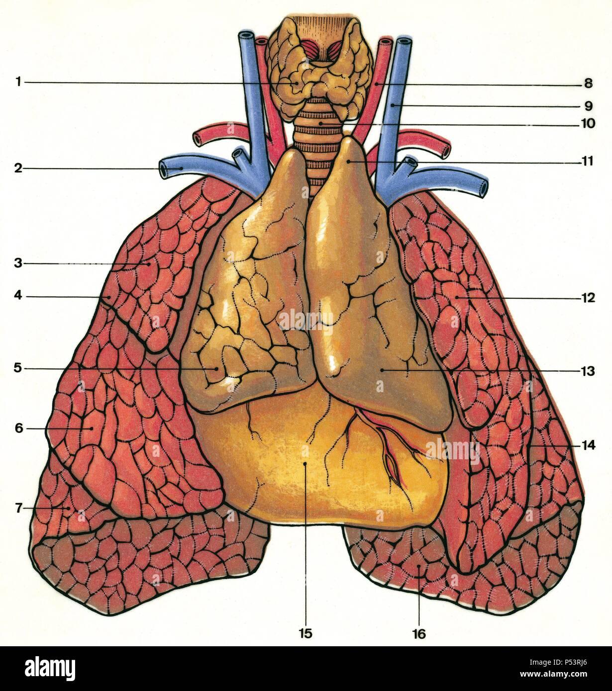 Drüsen. Die anatomische Lage des Thymus in einem Neugeborenen. 1 ...