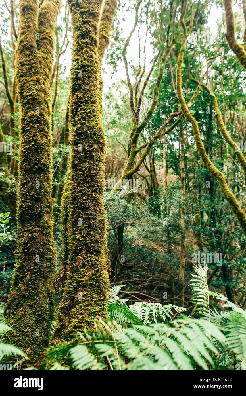 Laurel wald landschaft. Natur Hintergrund. Anaga Country Park, Biosphärenreservat, Teneriffa, Kanarische Inseln, Spanien Stockbild
