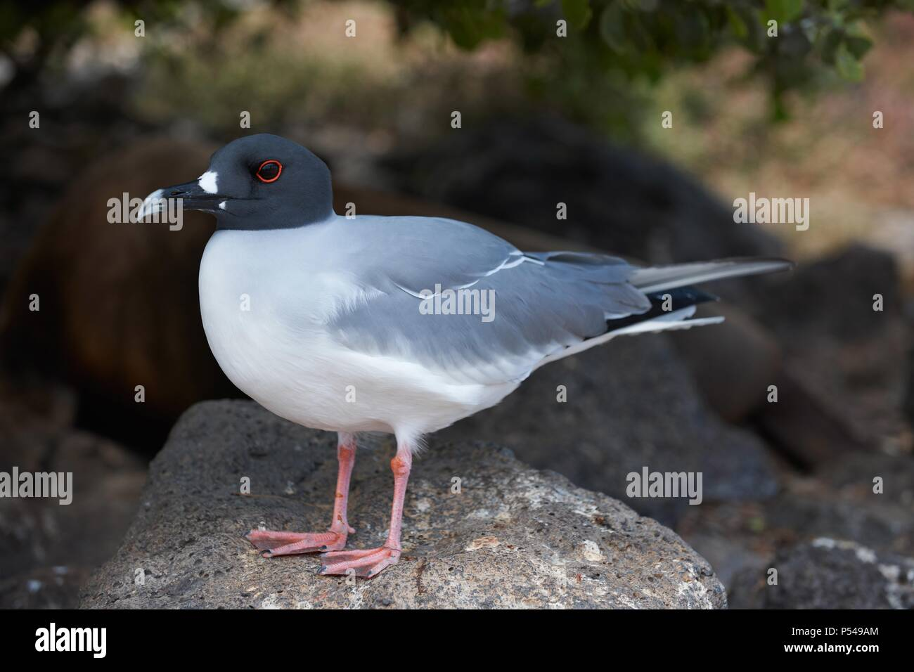 Swallow-tailed, Gull Stockbild