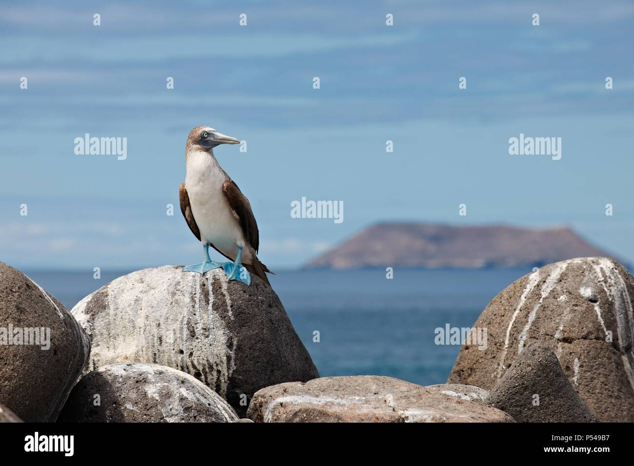 Blau-footed Sprengfallen Stockbild
