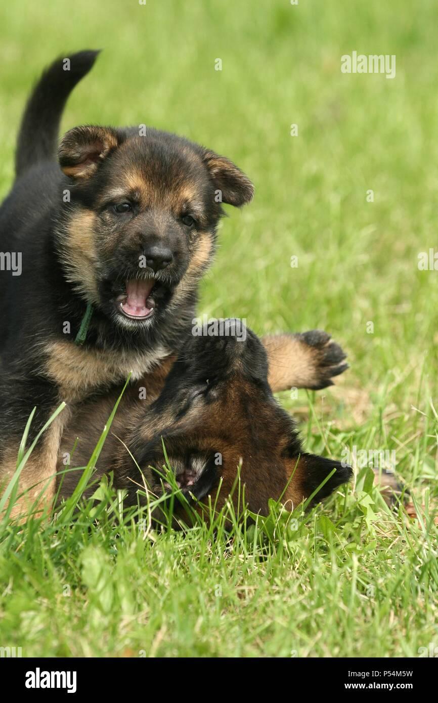 Deutscher Schaferhund Welpen Stockfotografie Alamy