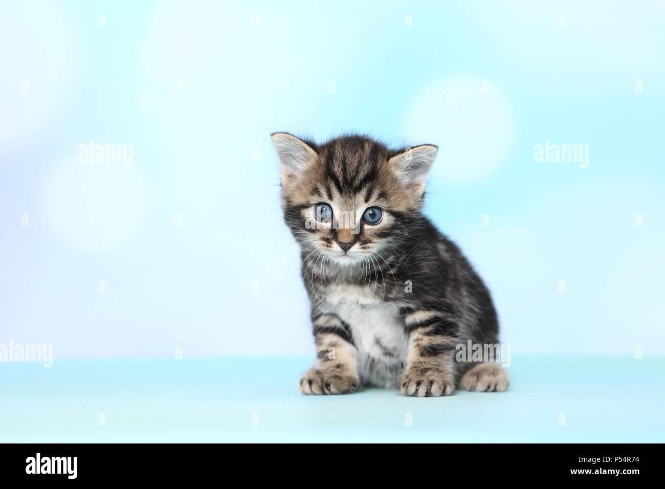 Europaisch Kurzhaar Kitten Stockfotografie Alamy