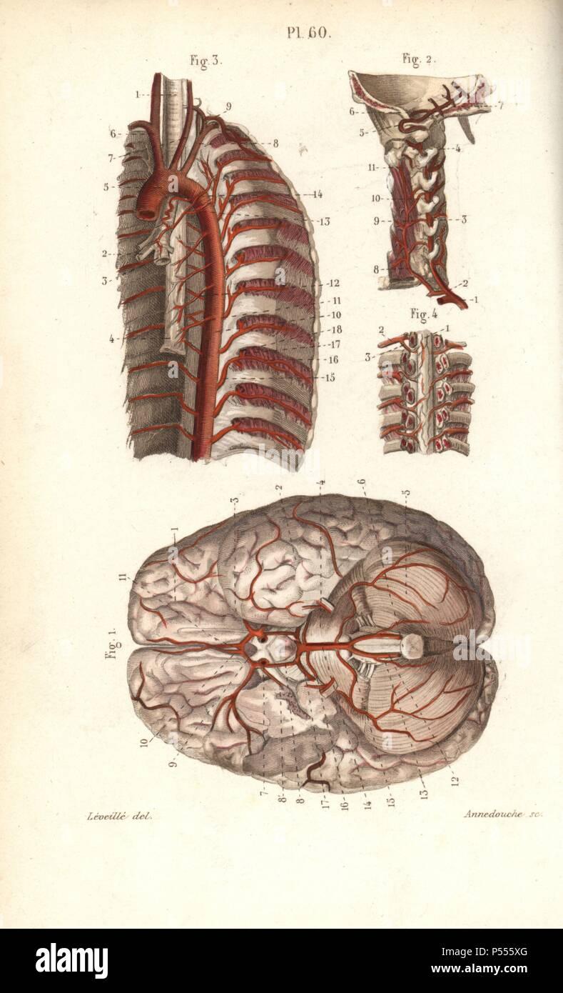Kreislauf zum Gehirn und Wirbelsäule. Papierkörbe Stahlstich von ...
