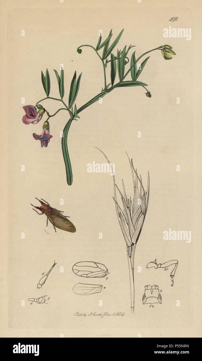 """Livia juncorum, Rush Springen - Laus mit Marsh vetchling, Lathyrus palustris. Papierkörbe Kupferstich erstellt und von John Curtis für seine eigenen """"Britische Entomologie eingraviert, die Abbildungen und Beschreibungen der Gattungen von Insekten in Großbritannien und Irland gefunden"""", London, 1834. Curtis (1791 - 1862) war ein entomologe, Zeichner, Kupferstecher und Verleger. """"Britische Entomologie' aus dem Jahr 1824 bis 1839 veröffentlicht wurde, und umfasste 770 Illustrationen von Insekten und Pflanzen, auf denen sie zu finden sind. Stockbild"""