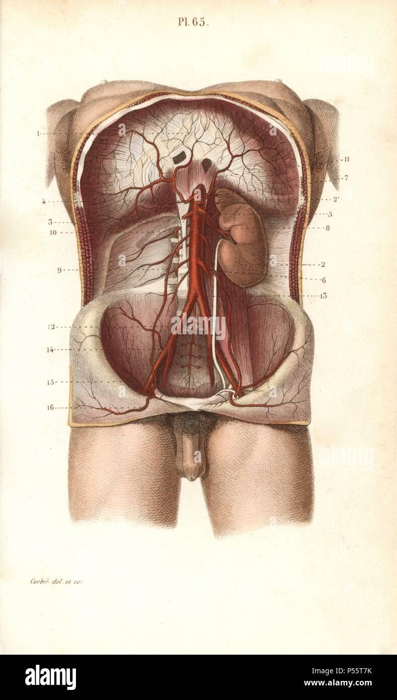 Ziemlich Anatomie De L Bauch Galerie - Anatomie Von Menschlichen ...