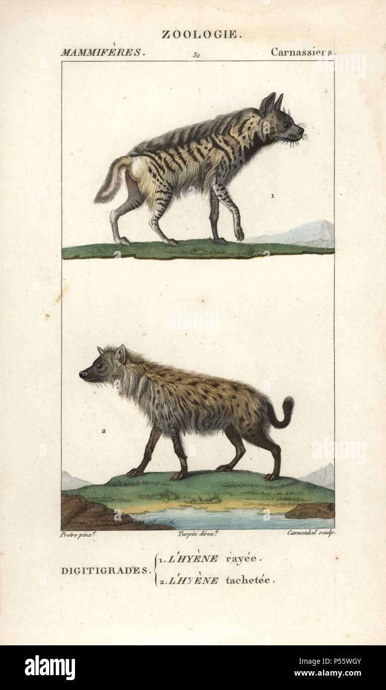 Niedlich Weibliche Anatomie Hyäne Bilder - Anatomie Von Menschlichen ...