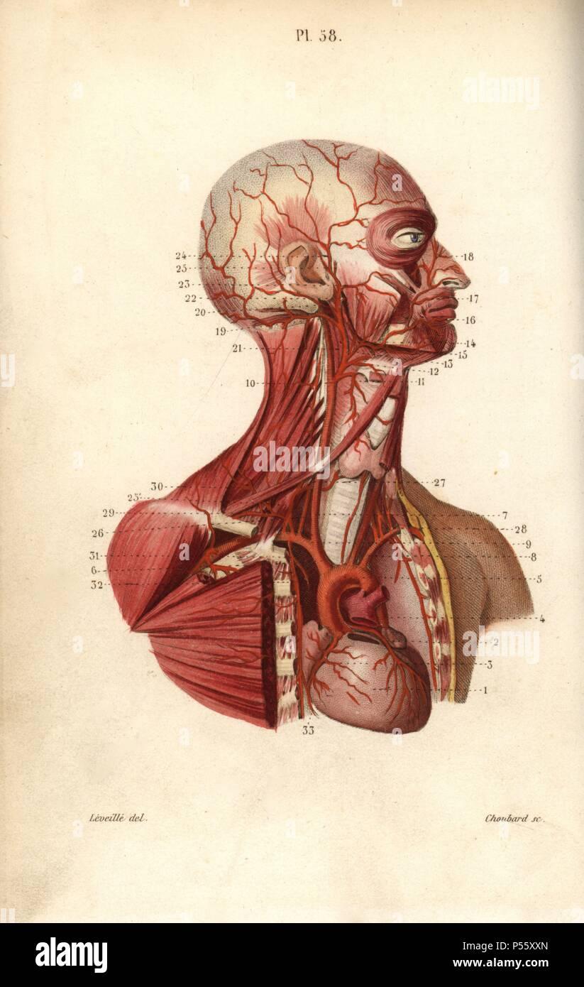 Herz-kreislauf-System von Herz zu Kopf. Papierkörbe Stahlstich von ...