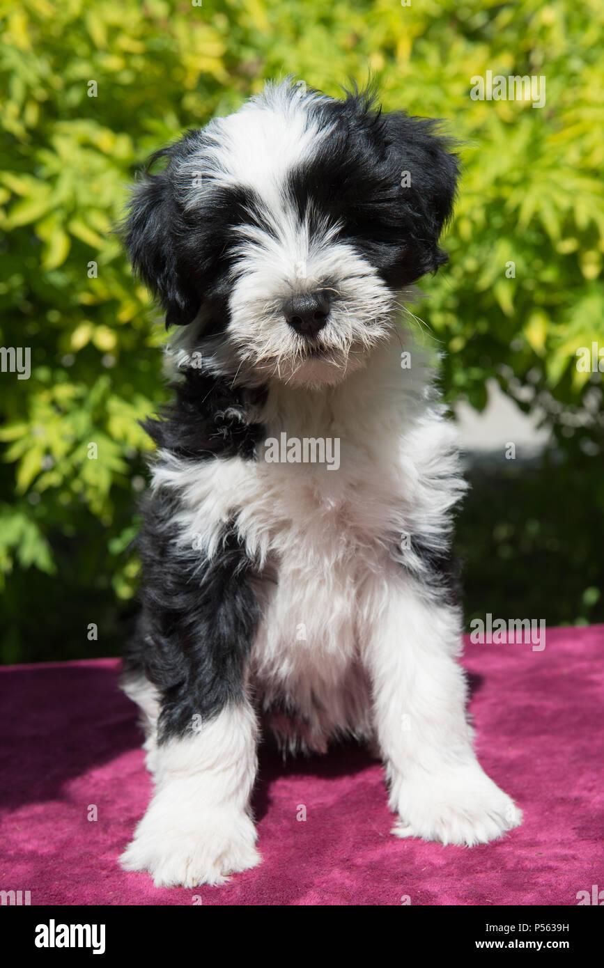 Weiss Lustig Tibet Terrier Hund Welpe Sitzt Auf Natur Stockfotografie Alamy