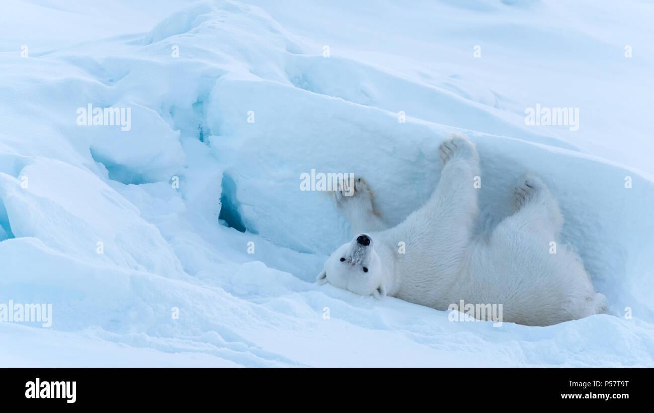 Polar Bear zurück Rub Stockbild