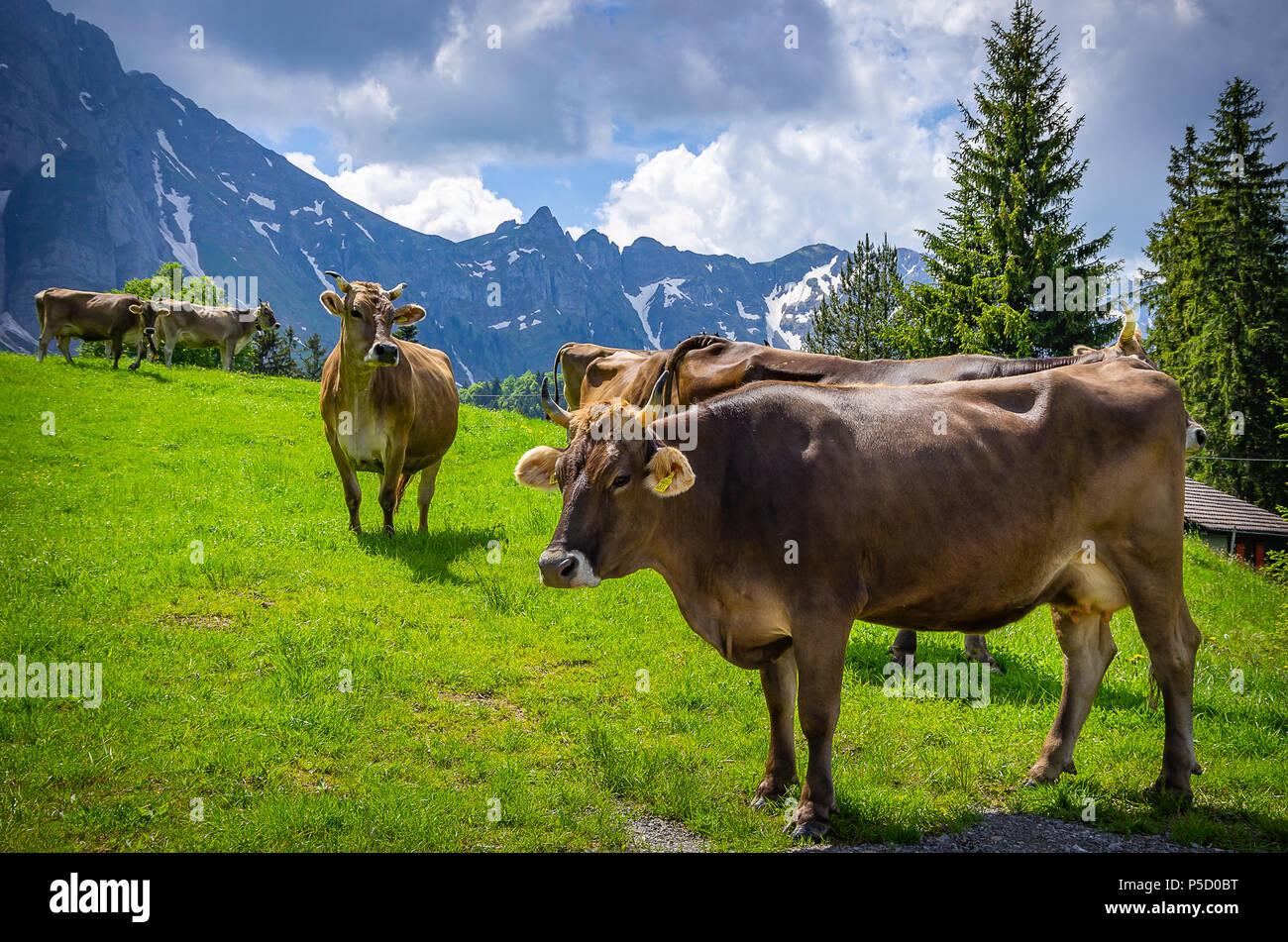 Kühe mit ordnungsgemäß befestigt Ohrmarken auf einer Bergwiese in den Schweizer Alpen in der Nähe von Urnäsch und Schwägalp, Kanton Appenzell Ausserrhoden, Schweiz. Stockfoto