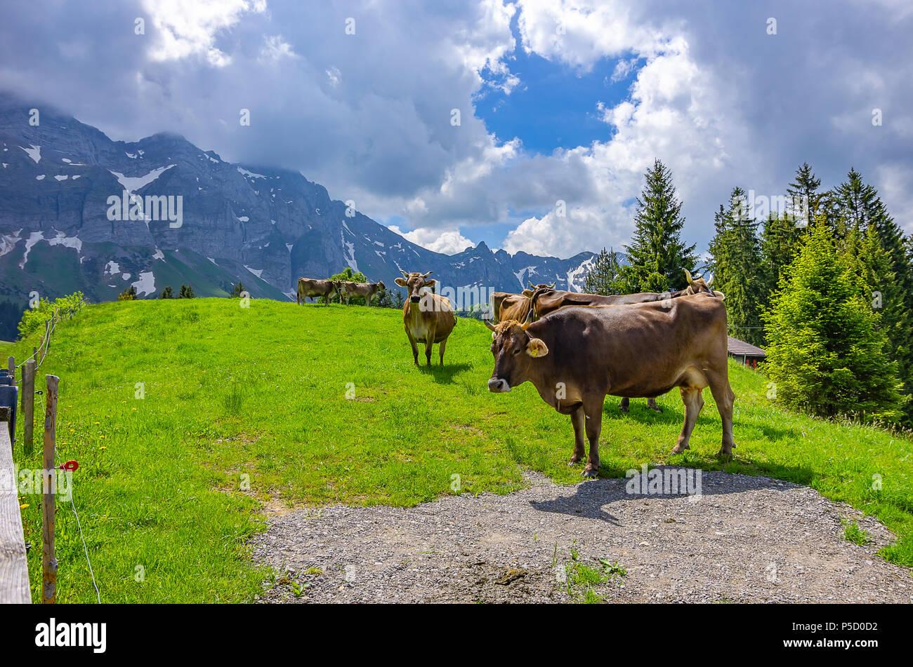 Kühe auf der Weide auf einer Bergwiese in den Schweizer Alpen in der Nähe von Urnäsch und Schwägalp, Kanton Appenzell Ausserrhoden, Schweiz. Stockfoto