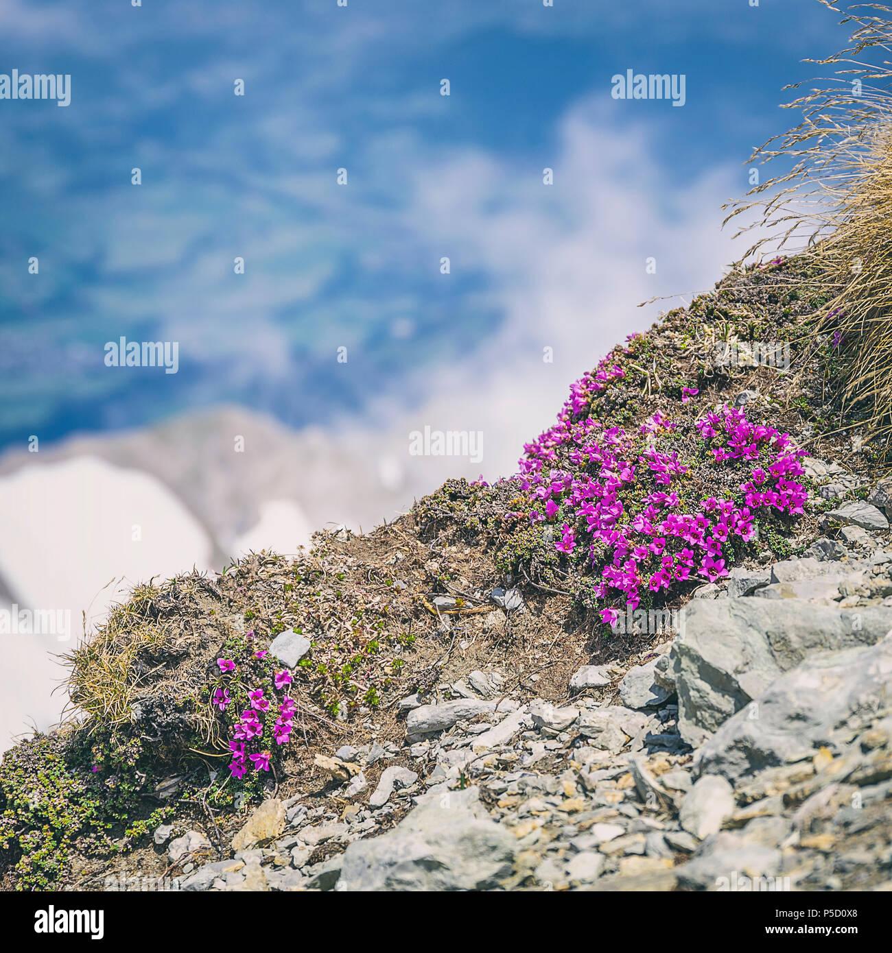 Purple Mountain, steinbrech Saxifraga oppositifolia auf dem Gipfel des Säntis, Appenzell Alpen, Schweiz. Stockfoto