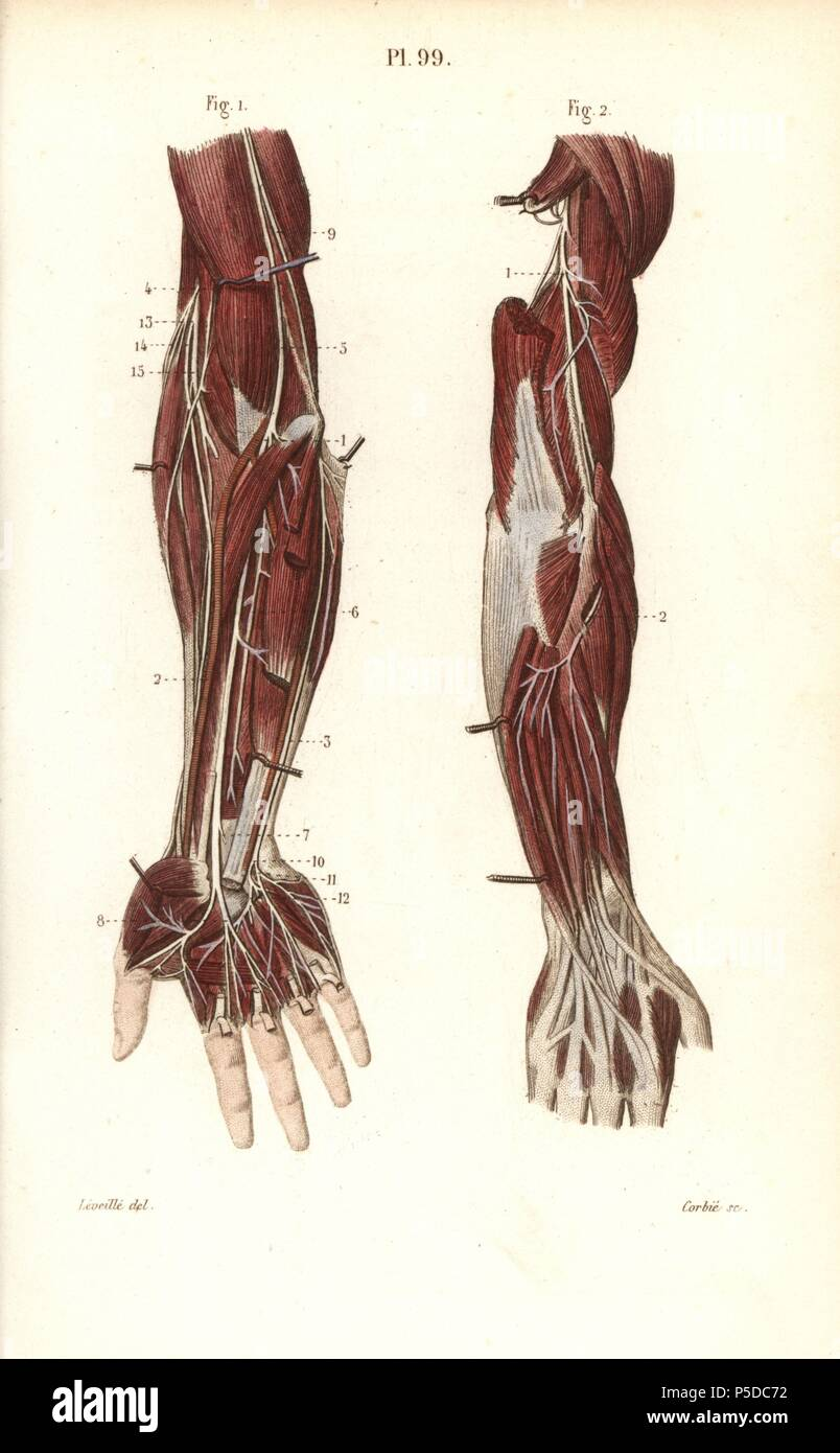 Tiefe Nervensystem auf den Arm und die Hand. Papierkörbe Stahlstich ...