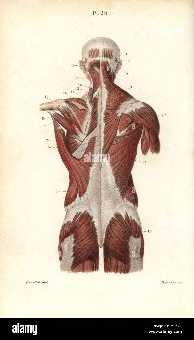 Muskeln von Rücken und Oberkörper. Papierkörbe Stahlstich von ...