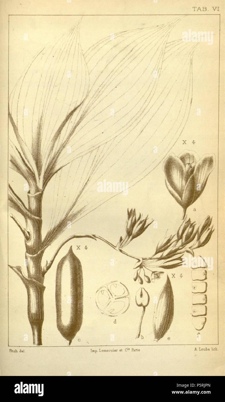 Seltenheit Manns Zwergbanane musa mannii 10 Samen