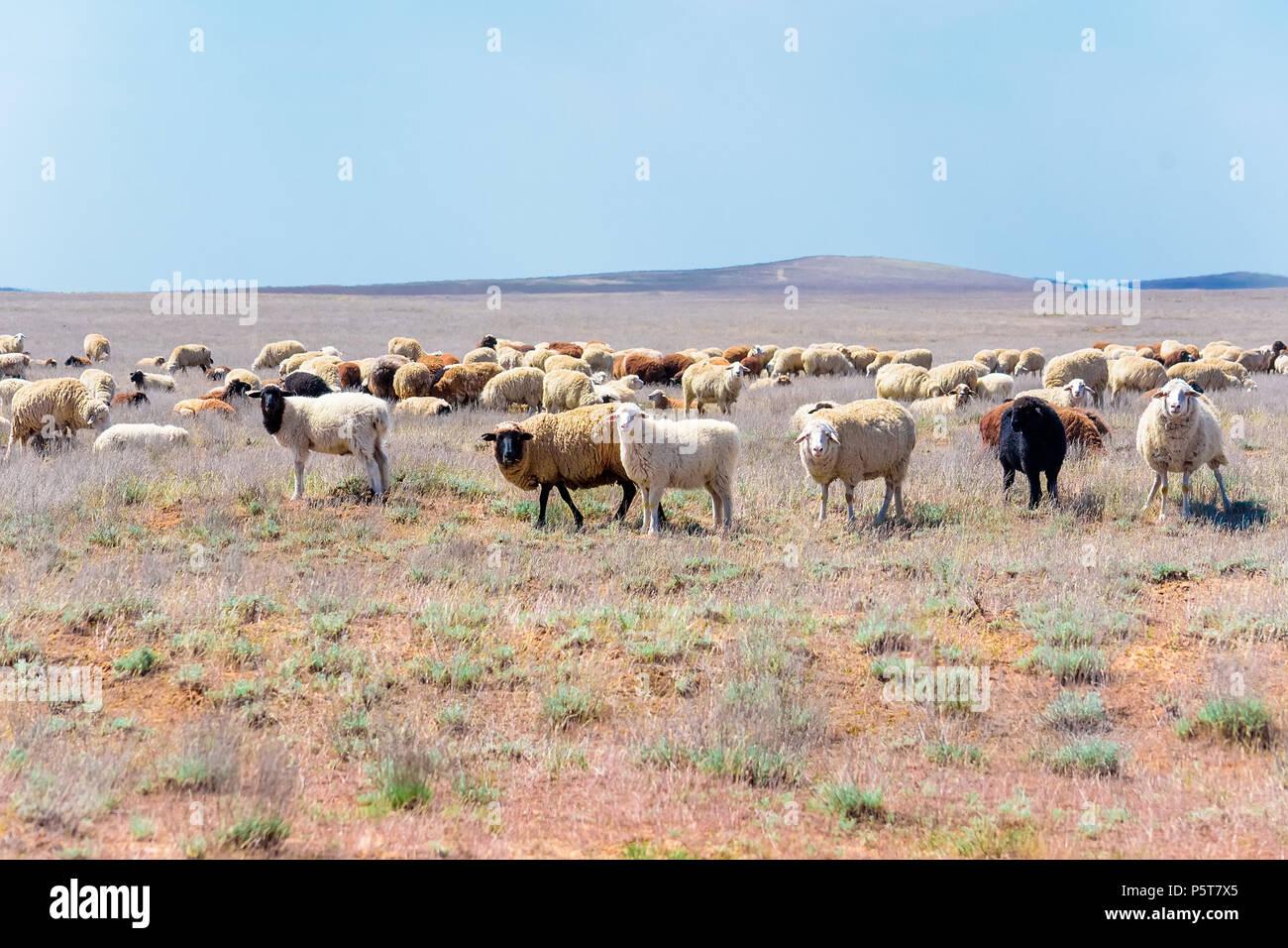 Herde von Schafen in semi-Wüste Stockbild