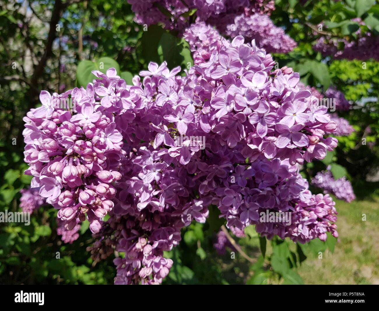 bl te bush lila flieder in einem botanischen garten mai. Black Bedroom Furniture Sets. Home Design Ideas