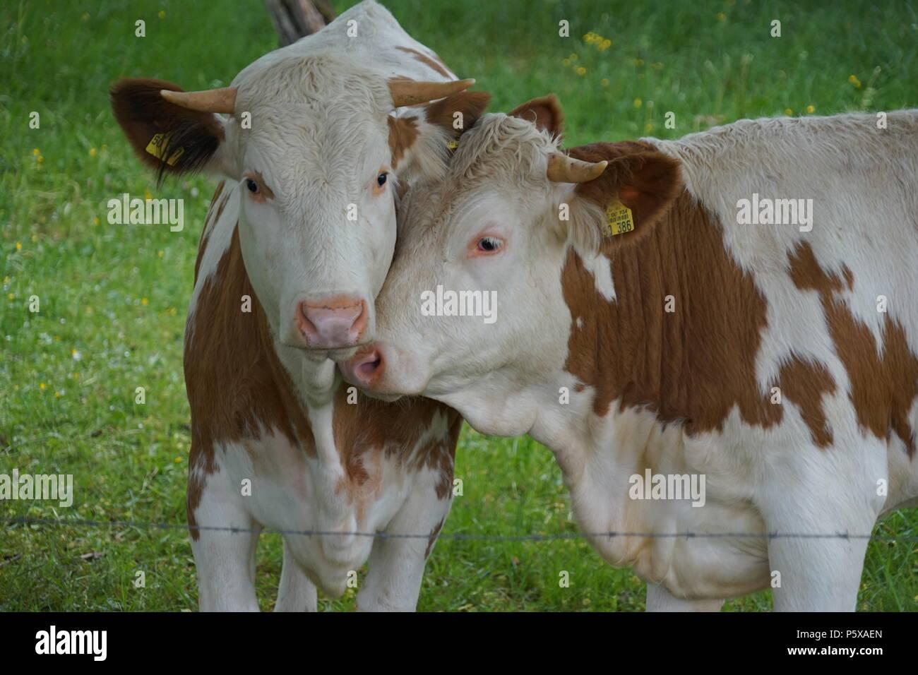 Zwei junge Bullen auf der Weide, Southerm Deutschland, Europa Stockbild