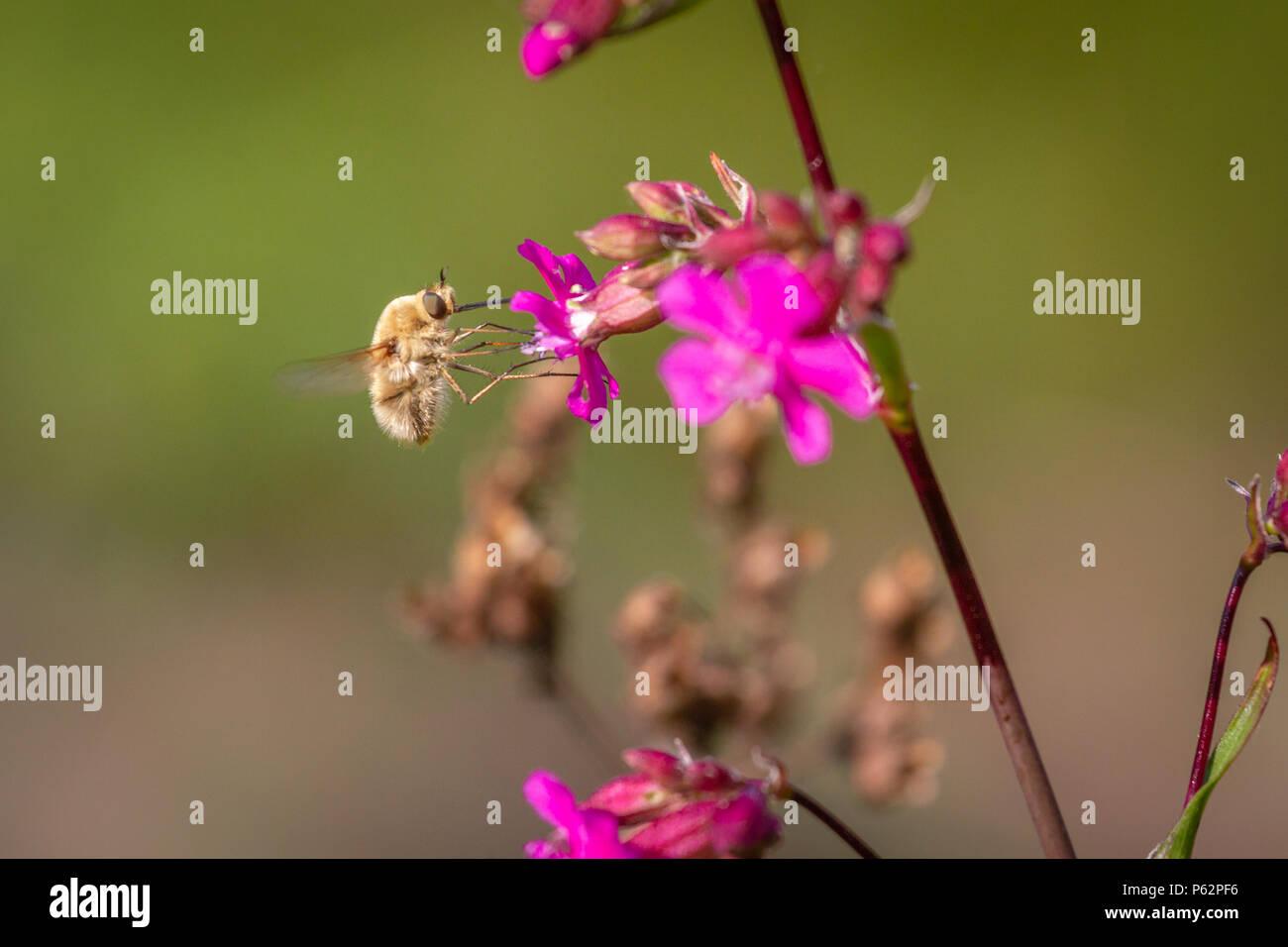 Biene - bombylius Major auf grünem Hintergrund. Bestäuben Sie Blume. Mit langen Rüssel Biene fliegt auf Blume Stockbild
