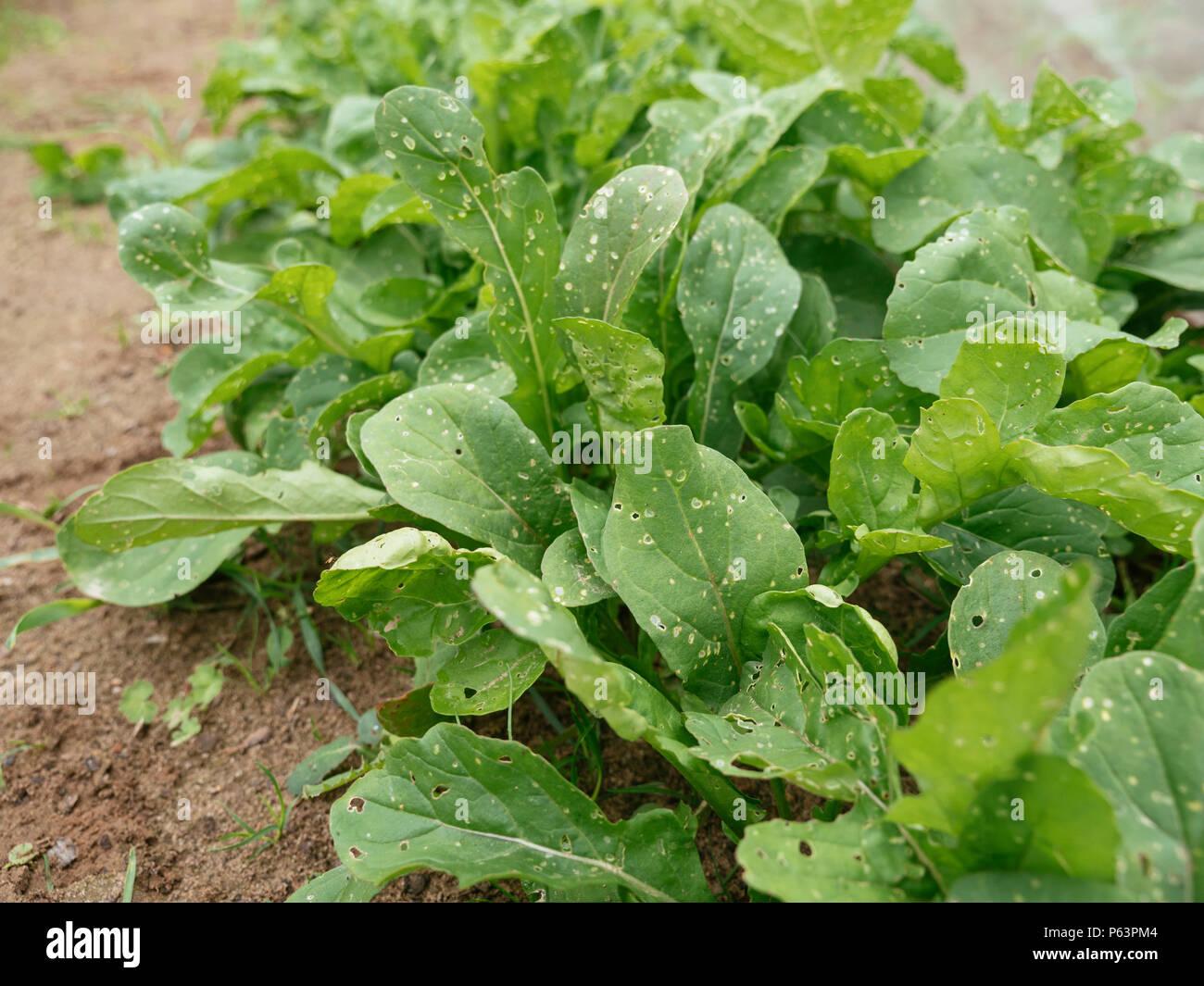 Top Rucola Pflanzen mit Flea beetle Schäden Stockfoto, Bild: 210296020 #CP_01