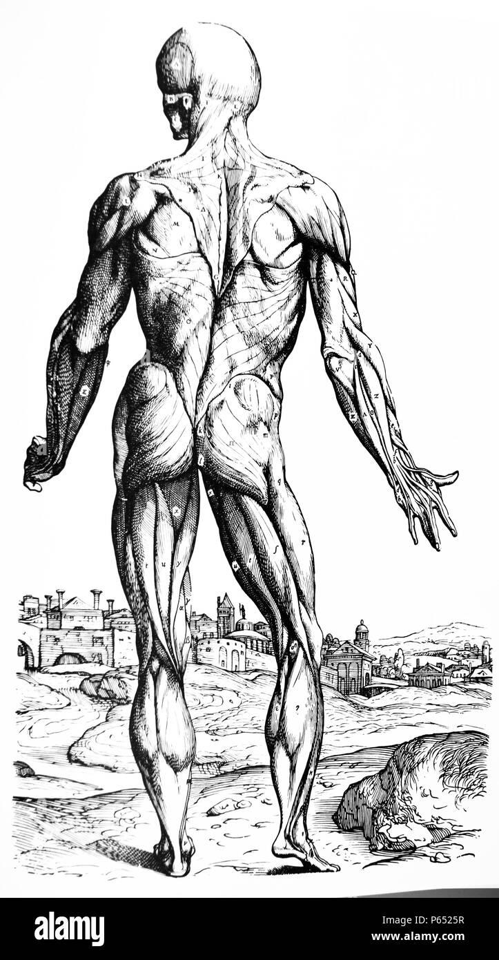 Ausgezeichnet Oberfläche Muskel Draht Galerie - Verdrahtungsideen ...