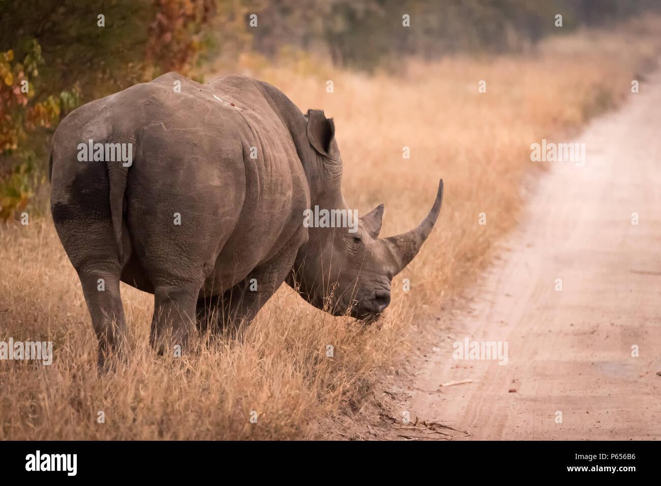 White Rhino am Straßenrand Stockbild
